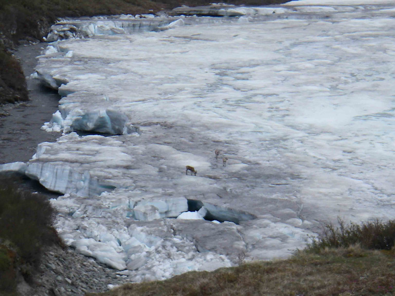 On one hike, we could see into the next valley, with a river still covered with ice.  Three caribou were carefully trying to cross the ice, but the jumbled ice at the edge made it dangerous for them.
