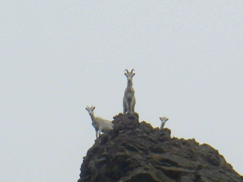 These three Dall sheep were as curious about us as we were about them..