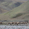 Constant bands of caribou cross the river.  Over 120,000 caribou migrate from Canada and Alaska to the coastal calving ground.