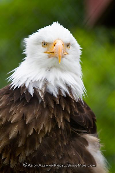Bald Eagle (captive) - Alaska Wildlife Conservations Center, Girdwood, Alaska