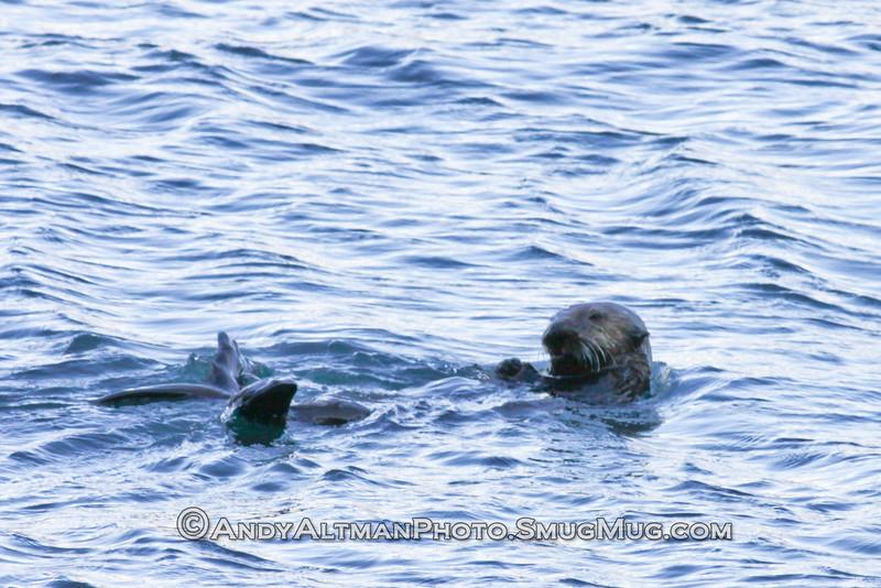 Sea Otter - Seward, Alaska