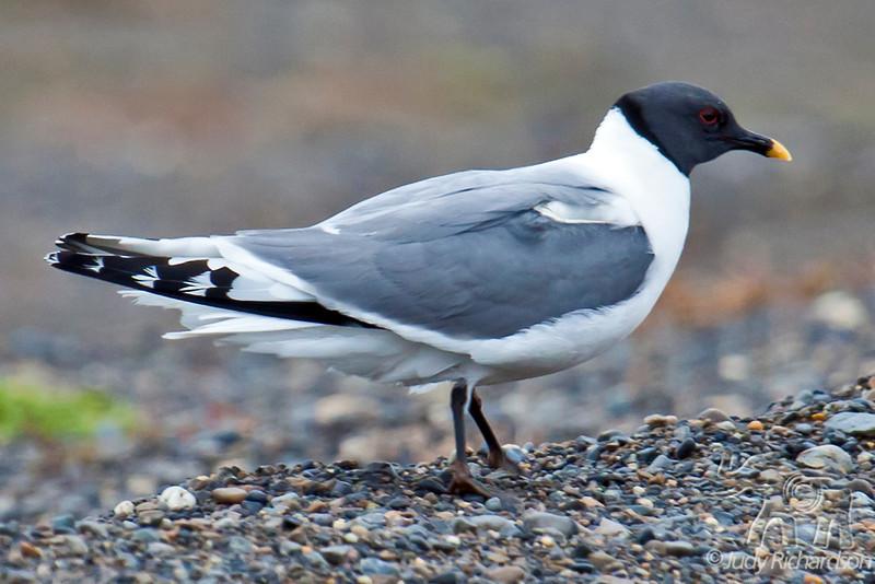 Sabines Gull in Barrow