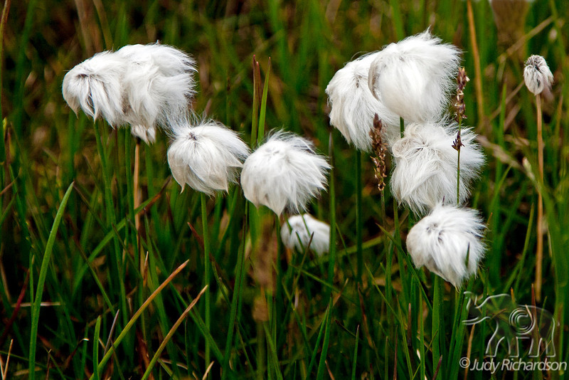 Alaska Cotton on tundra of Arctic area of Barrow, Alaska