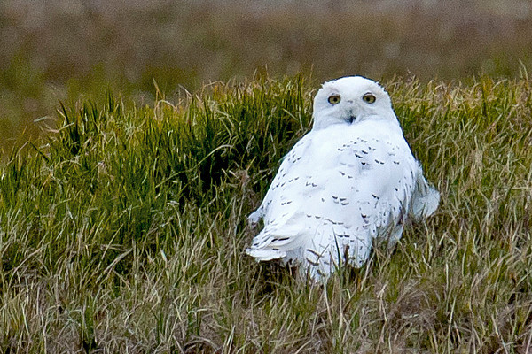Snowy Owl in tundra of Barrow, Alaska~very long distance from where we were located!
