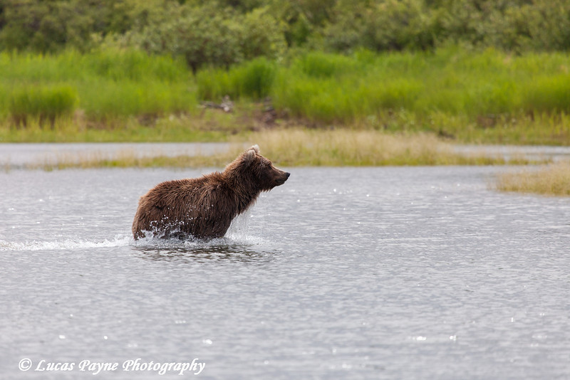 Brown bear fishing for sockeye salmon in the Brooks River at Katmai National Park & Preserve, Southwest Alaska.<br /> <br /> July 01, 2013