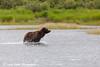 Brown bear fishing for sockeye salmon in the Brooks River at Katmai National Park & Preserve, Southwest Alaska.<br /> <br /> July 01, 2013