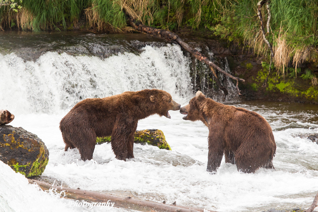 Two Brown bears having a dispute over fishing rights at Brooks Falls in Katmai National Park & Preserve, Southwest Alaska.<br /> <br /> June 30, 2013
