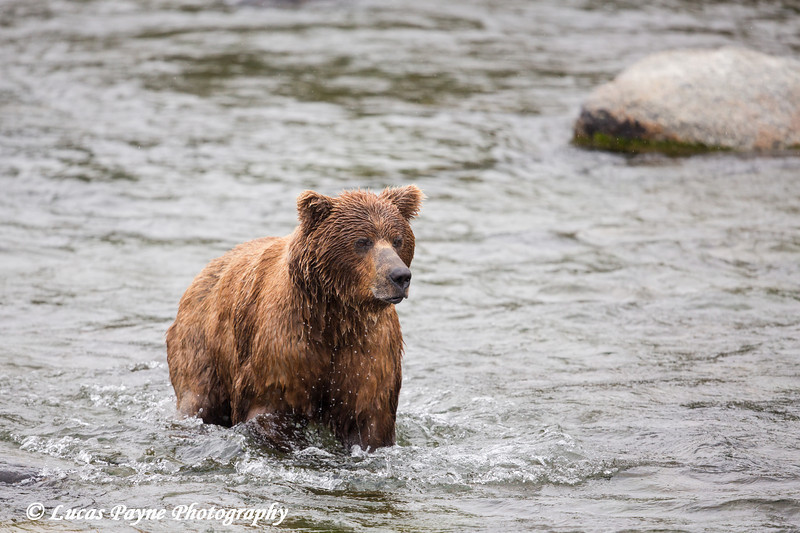 Brown bear fishing for sockeye salmon at Brooks Falls in Katmai National Park & Preserve, Southwest Alaska.<br /> <br /> July 01, 2013