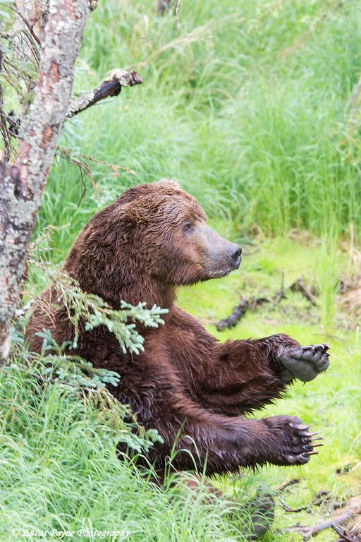 Brown bear standing against a tree scratching its back near Brooks Falls in Katmai National Park & Preserve, Southwest Alaska.<br /> <br /> June 30, 2013