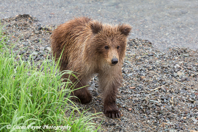 Brown bear cub near the Lower Brooks River viewing platform in Katmai National Park & Preserve, Southwest Alaska.<br /> <br /> June 30, 2013
