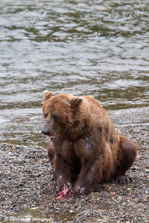 Brown bear eating a salmon at Brooks Falls in Katmai National Park & Preserve, Southwest Alaska.<br /> <br /> June 30, 2013