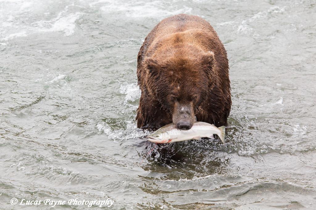 Brown bear with a salmon at Brooks Falls in Katmai National Park & Preserve, Southwest Alaska.<br /> <br /> June 30, 2013
