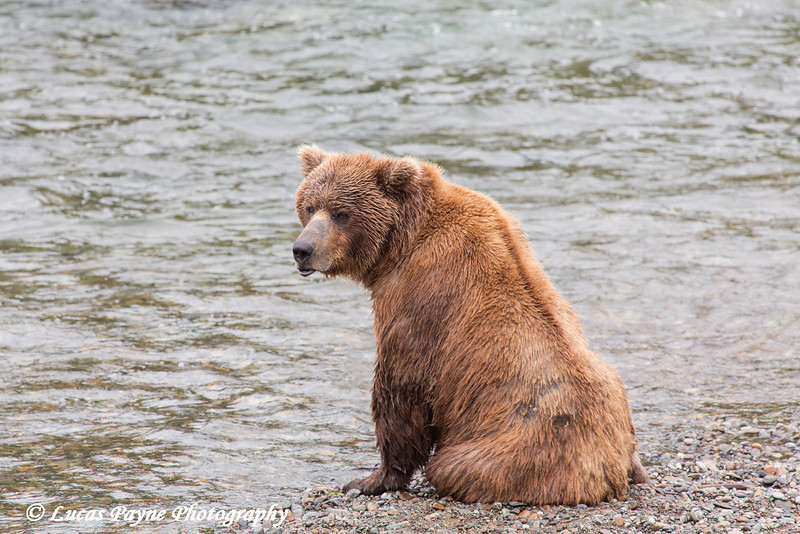 Brown bear taking a break from fishing for sockeye salmon at Brooks Falls in Katmai National Park & Preserve, Southwest Alaska.<br /> <br /> July 01, 2013