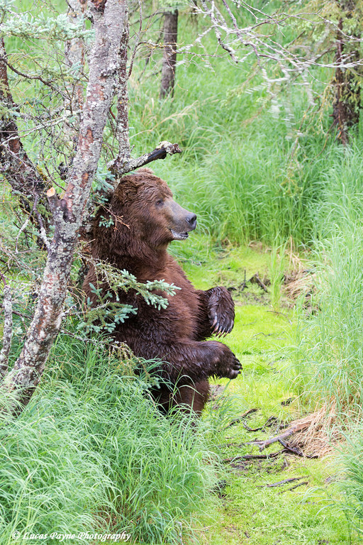 Brown bear standing against a tree scratching its back near Brooks Falls in Katmai National Park & Preserve, Southwest Alaska.<br /> <br /> June 30, 2013