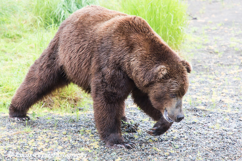 Brown bear at Katmai National Park & Preserve, Southwest Alaska.<br /> <br /> June 30, 2013