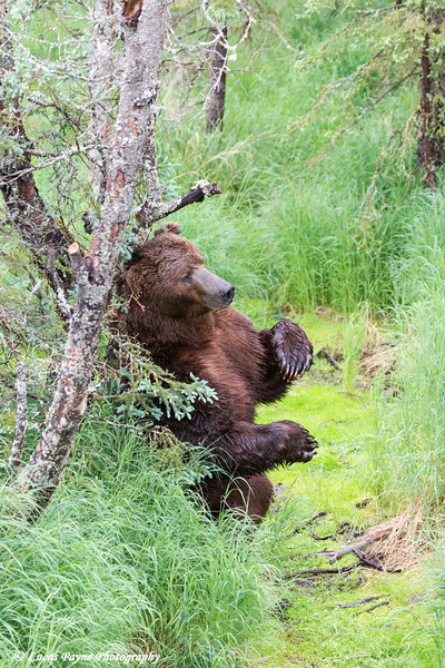 Brown bear standing against a tree scracthing its back near Brooks Falls in Katmai National Park & Preserve, Southwest Alaska.<br /> <br /> June 30, 2013