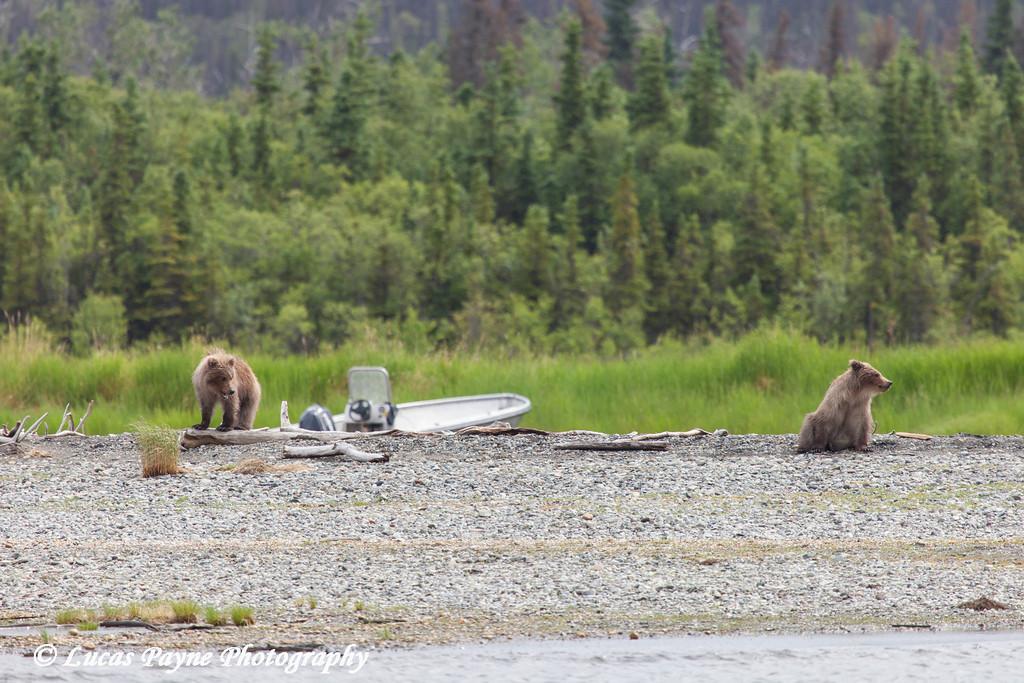 Two Brown bear cubs along the Brooks River in Katmai National Park & Preserve, Southwest Alaska.<br /> <br /> July 01, 2013