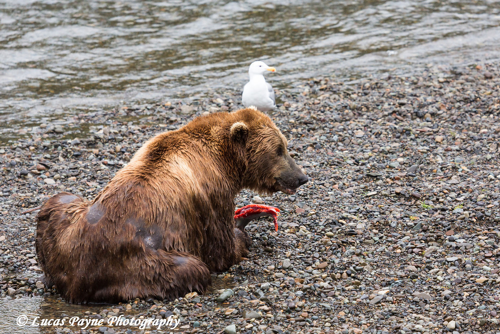 Brown bear eating a salmon at Brooks Falls in Katmai National Park & Preserve, Southwest Alaska.<br /> <br /> June 30, 2013