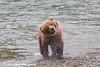 Brown bear shaking off water at Brooks Falls in Katmai National Park & Preserve, Southwest Alaska.<br /> <br /> July 01, 2013
