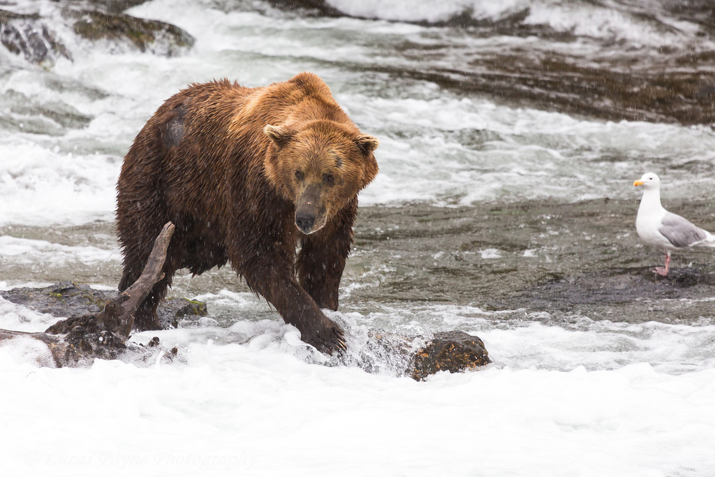 Brown bear fishing for sockeye salmon below Brooks Falls in Katmai National Park & Preserve, Southwest Alaska.<br /> <br /> June 30, 2013