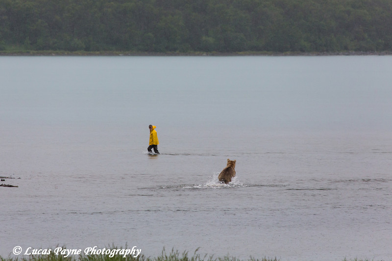 Fisherman moving out of a running Brown bear's way in Naknek Lake, Katmai National Park & Preserve, Southwest Alaska.<br /> <br /> June 30, 2013