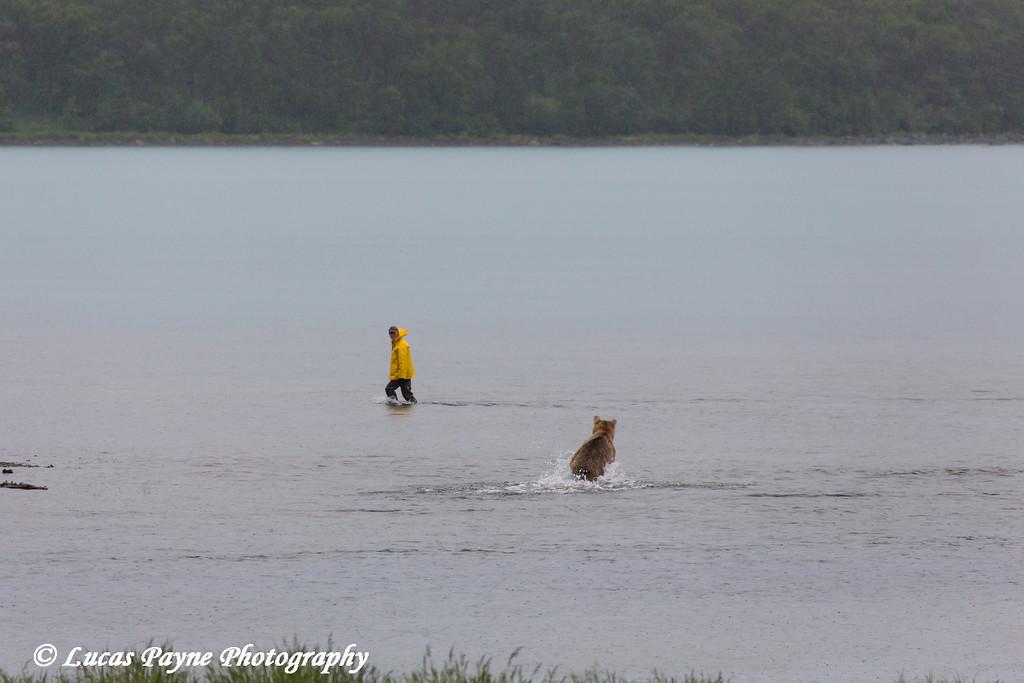 Fisherman moving out of a running Brown bear's way in Naknek Lake, Katmai National Park & Preserve, Southwest Alaska.<br /> <br /> June 30, 2013