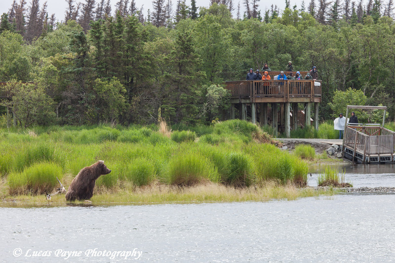 Visitors viewing a Brown bear fishing for salmon from an observation platform along the Brooks River in Katmai National Park & Preserve, Southwest Alaska.<br /> <br /> July 01, 2013