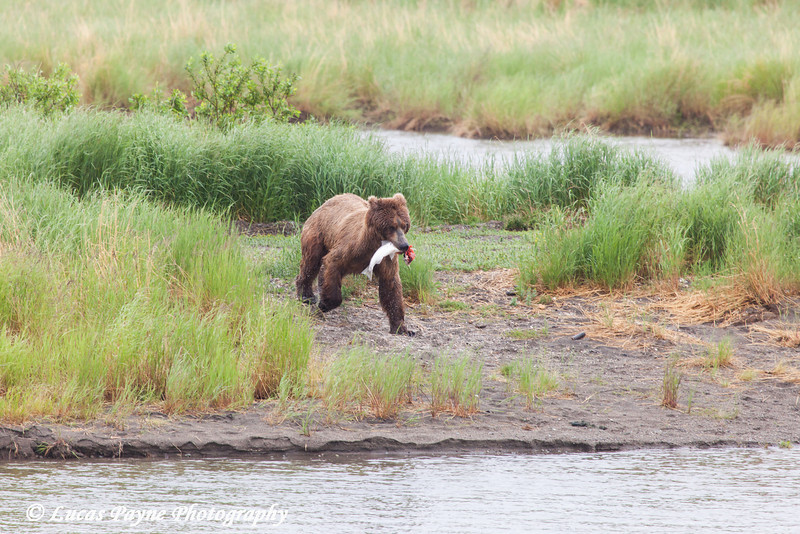 Brown bear running with a salmon along the Brooks River in Katmai National Park & Preserve, Southwest Alaska.<br /> <br /> July 01, 2013