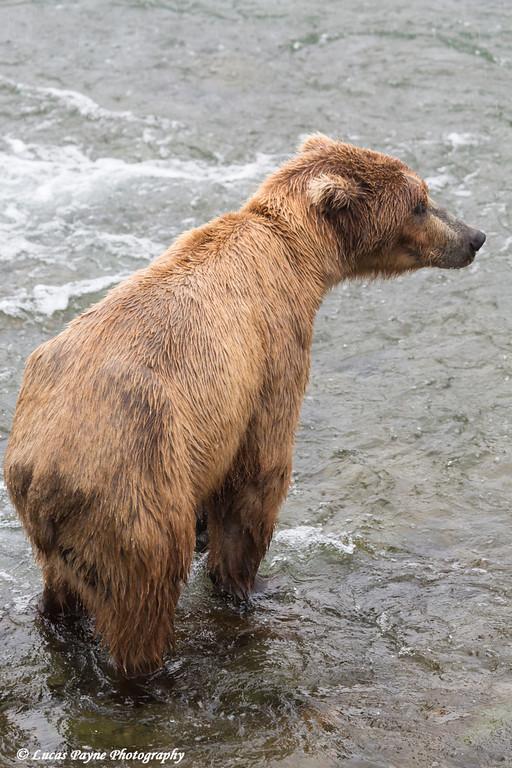 Brown bear fishing for sockeye salmon at Brooks Falls in Katmai National Park & Preserve, Southwest Alaska.<br /> <br /> June 30, 2013