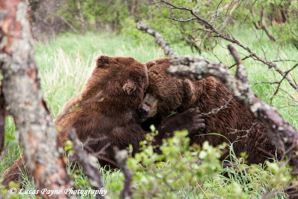 Two Brown bears fighting near Brooks Falls in Katmai National Park & Preserve, Southwest Alaska.<br /> <br /> June 30, 2013