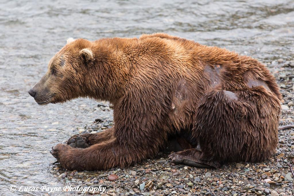 Brown bear taking a break from fishing for sockeye salmon at Brooks Falls in Katmai National Park & Preserve, Southwest Alaska.<br /> <br /> June 30, 2013