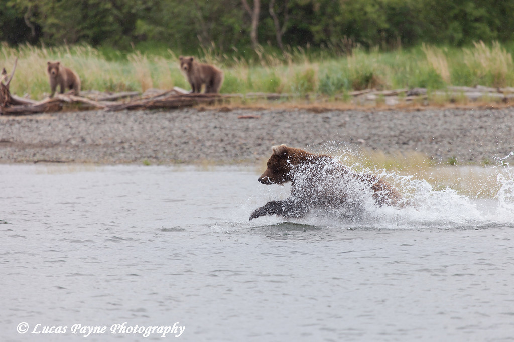 Two Brown bear cubs watch their mother fish for salmon in the Brooks River, Katmai National Park & Preserve, Southwest Alaska.<br /> <br /> July 01, 2013