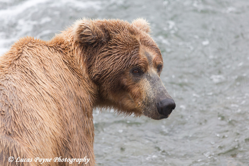 Brown bear fishing for sockeye salmon at Brooks Falls in Katmai National Park & Preserve, Southwest Alaska.<br /> <br /> June 30, 2013