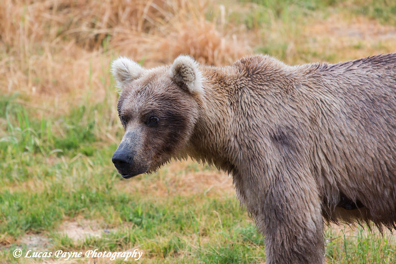 Brown bear in Katmai National Park & Preserve, Southwest Alaska.<br /> <br /> June 30, 2013
