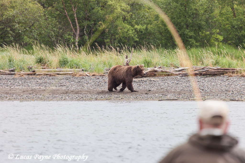 Fisherman fly fishes for sockeye salmon in the Brooks River as a Brown bear walks by, Katmai National Park & Preserve, Southwest Alaska.<br /> <br /> July 01, 2013
