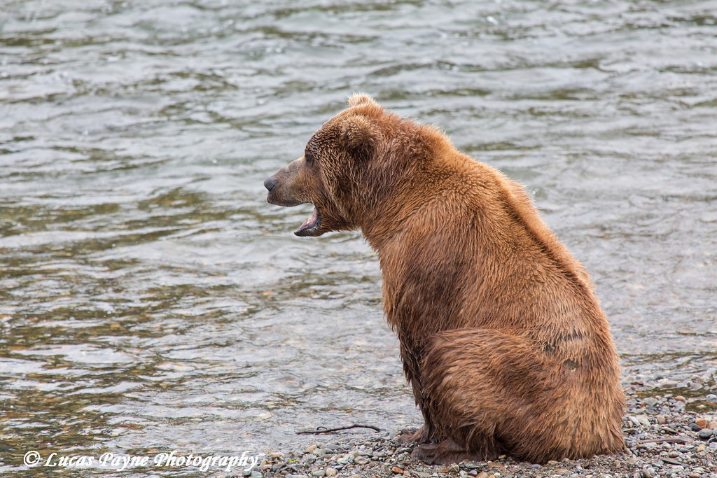 Brown bear fishing for sockeye salmon at Brooks Falls in Katmai National Park & Preserve, Southwest Alaska.<br /> <br /> July 01, 2013