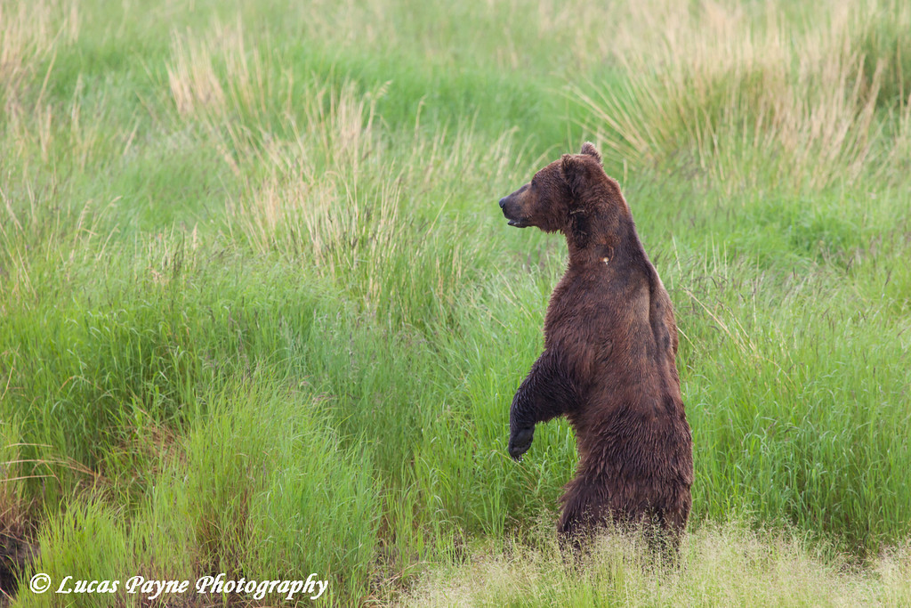 Brown bear standing on its hind legs to get a view above the weeds near the Brooks River in Katmai National Park & Preserve, Southwest Alaska.<br /> <br /> July 01, 2013