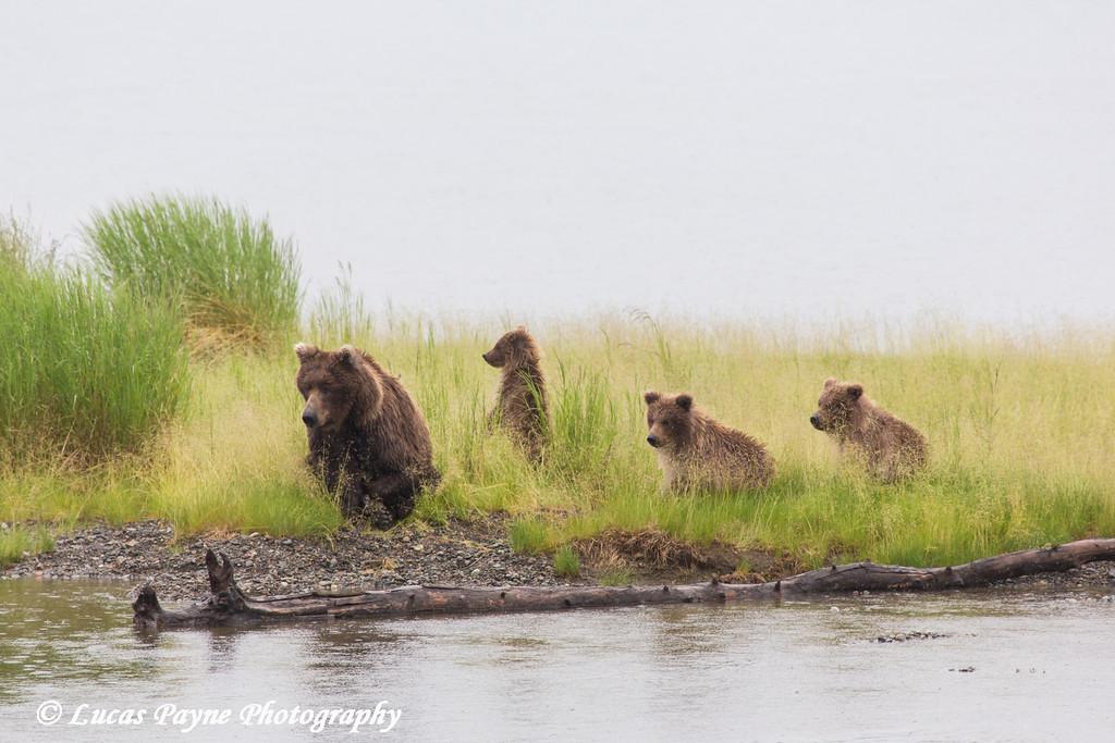 Brown bear mother and cubs resting along Naknek Lake in Katmai National Park & Preserve, Southwest Alaska.<br /> <br /> June 30, 2013