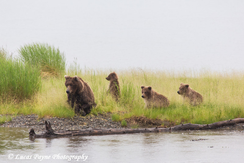 Brown bear mother and cubs resting along Naknek Lake in Katmai National Park & Preserve, Southwest Alaska.<br /> <br /> June 30, 2013