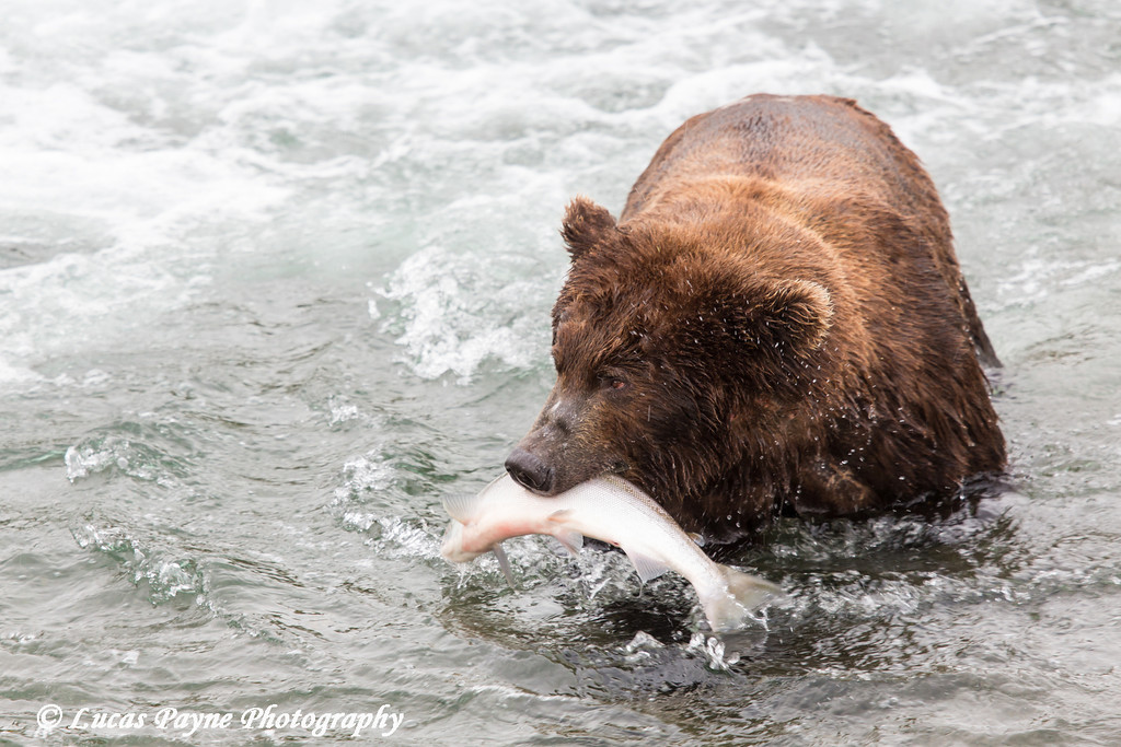 Brown bear with a salmon at Brooks Falls in Katmai National Park & Preserve, Southwest Alaska.<br /> <br /> June 30, 2013
