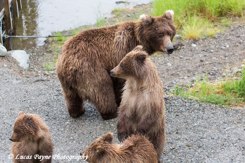 Brown bear mother and cubs near the Lower Brooks River viewing platform in Katmai National Park & Preserve, Southwest Alaska.<br /> <br /> June 30, 2013
