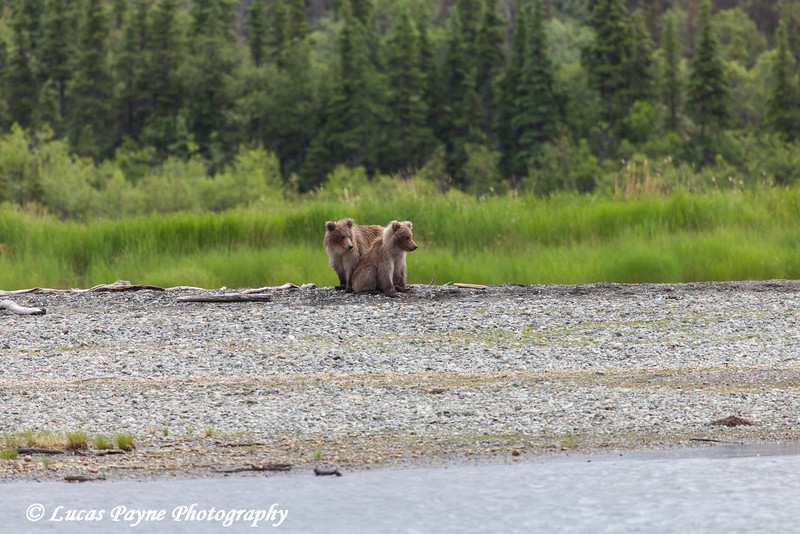 Two Brown bear cubs along the Brooks River in Katmai National Park & Preserve, Southwest Alaska.<br /> <br /> July 01, 2013