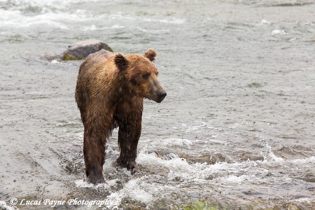 Brown bear fishing for sockeye salmon below Brooks Falls in Katmai National Park & Preserve, Southwest Alaska.<br /> <br /> June 30, 2013