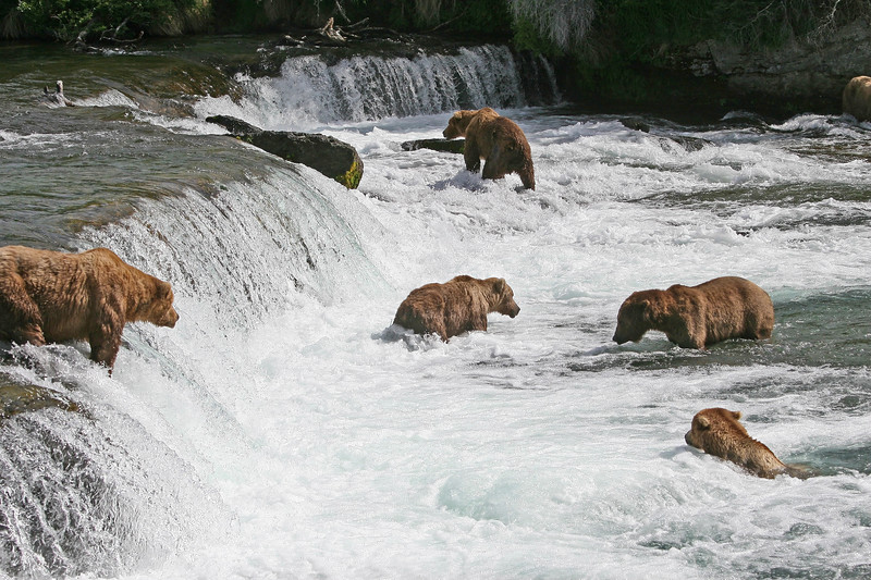Sometimes there were as many as 9 bears fishing in the falls at the same time.