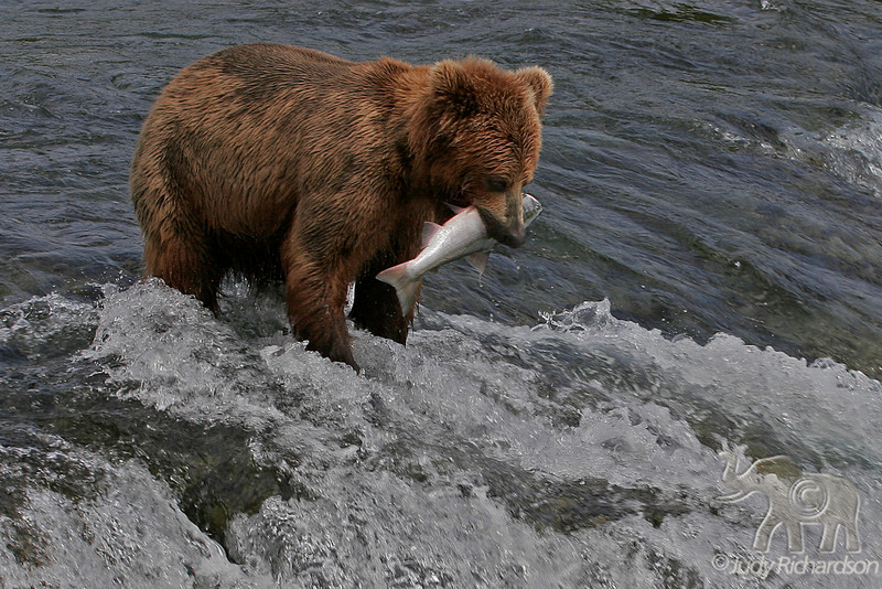 Large Salmon capture
