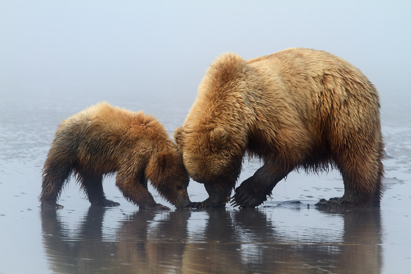 Brown Bears, Lake Clark National Park, Alaska