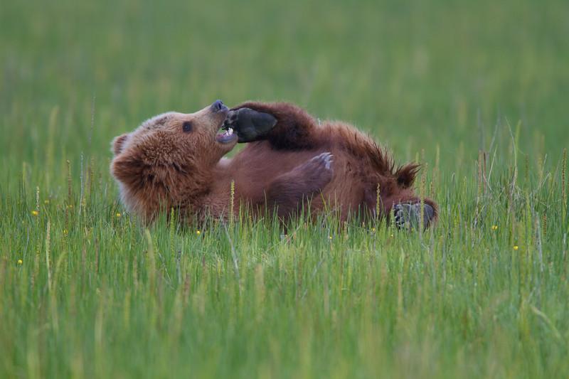 Playing Brown Bear Cub - Lake Clark National Park, Alaska
