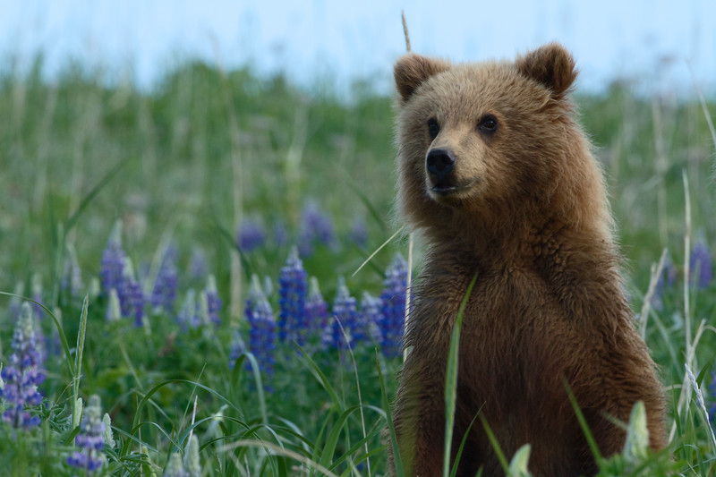Brown Bear Cub - Lake Clark National Park, Alaska