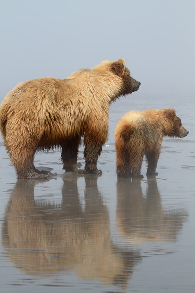 Brown Bears - Lake Clark National Park, Alaska