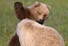 Brown Bear Cubs - Lake Clark National Park, Alaska